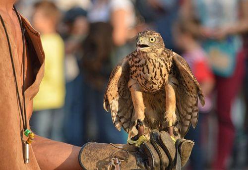 A Hawk landing for its reward - raw meat...